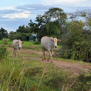 Cows walking in Cambodia